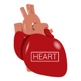 Realistic human heart -. Illustration of a realistic human hearth royalty free illustration