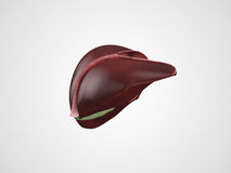 Realistic human liver illustration Stock Photos