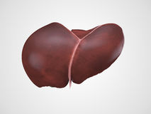 Realistic human liver illustration Stock Images