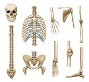 Realistic Human Skeleton Parts Set. With skull spine scapula bones of pelvis and limbs isolated vector illustration vector illustration