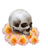 Realistic human skull with shadow on yellow with pink rose flowe Royalty Free Stock Images