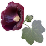 Realistic illustration of claret mallow flower (alcea) isolated on white background Stock Photos