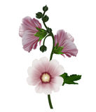Realistic illustration of holly hock Royalty Free Stock Image