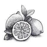 Realistic illustration of lemons in vintage engraving technique. stock illustration