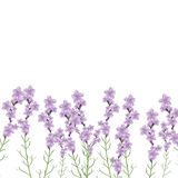 Realistic lavender flower  illustration Royalty Free Stock Images