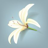 Realistic lily flower. Vector illustration Stock Photos
