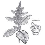 Medical plant amaranth. Realistic medical plant amaranth, mortar and pestle. Vintage engraving. Vector illustration art. Black and white. Hand drawn of flower Royalty Free Stock Photos