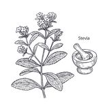 Medical plant stevia. Realistic medical plant stevia, mortar and pestle. Vintage engraving. Vector illustration art. Black and white. Hand drawn of flower Royalty Free Stock Photography