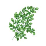 Realistic natural drawing of Miracle Tree or Moringa oleifera. Exotic herbaceous plant used in herbalism isolated on. White background. Botanical vector royalty free illustration