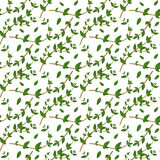 Realistic natural seamless pattern with evergreen herb. Thyme branch and  leaves on white background. Flora style. Vector illustra Stock Photos