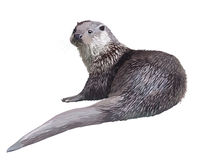 Realistic otter Stock Images