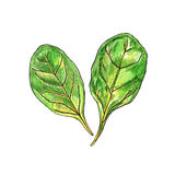 Realistic pencil illustration spinach  on white background. Vector Stock Photos