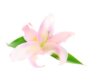Realistic Pink Lily Vector Illustration Royalty Free Stock Photo