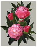 Realistic pink peonies. Vector flower illustration Royalty Free Stock Images