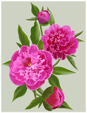 Realistic pink peonies. Vector flower illustration Royalty Free Stock Image