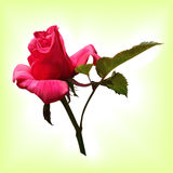 Realistic pink rose on a light background Royalty Free Stock Photo