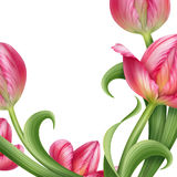 Realistic pink tulips floral illustration Stock Photography