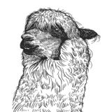 Realistic portrait of South American animal Lama. Vintage engraving. Black and white hand drawing. Vector vector illustration