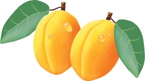 Realistic portrayal of apricots Royalty Free Stock Images