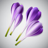 Realistic purple crocus set. Realistic purple crocus flower set, vector spring illustration; design decoration Royalty Free Stock Image