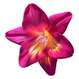 Realistic purple freesia flower. Vector realistic purple freesia flower isolated on white background Stock Image