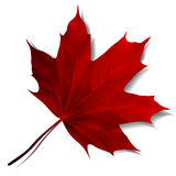Realistic red maple leaf Stock Photos