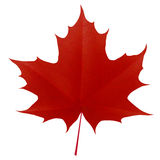 Realistic Red Maple Leaf On White Background Stock Photography