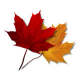 Realistic red maple leaf Royalty Free Stock Photos