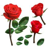Realistic red roses isolated on white background. Stock Images