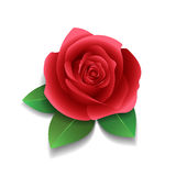 Realistic rose and leaves Stock Image