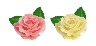 Realistic rose on a white background Stock Images