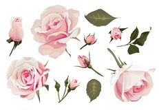 Realistic Roses Vector Clip Art Pink Flower image. Realistic Roses Vector Clip Art set of 11 elements Pink Flower image Stock Image