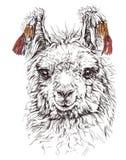 Realistic sketch of LAMA Alpaca, on white stock illustration
