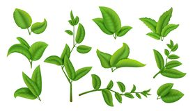 Realistic tea leaves and branches. Green plants and herbs isolated on white, natural tea leaf collection. Vector. Refreshing drink herbal agricultural set stock illustration