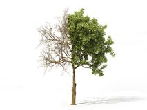Realistic tree isolated on a white. 3d illustration. Realistic tree half covered of leaves isolated on a white. 3d illustration Stock Image