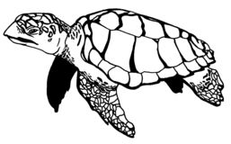 Realistic Turtle Illustraction. Drawing of a  sea-turtle swimming along underwater Royalty Free Stock Photos
