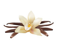 Realistic Vanilla Flower and Sticks. Vector Isolated Illustration Icon Royalty Free Stock Photos
