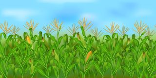 Horizontal seamless corn field with the blue sky. Realistic vector corn field in the harvesting time Stock Images