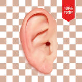 Realistic vector ear. Realistic ear. Isolated vector illustration on white Vector Illustration
