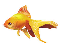Realistic Vector Goldfish Illustration . Isolated On White Background Icon Stock Image