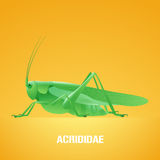 Realistic vector illustration of green insect Acrididae, locust, grasshopper Stock Photos