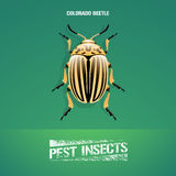 Realistic vector illustration of insect Leptinotarsa decemlineata, colorado beetle Stock Image