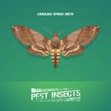 Realistic vector illustration of insect Manduca sexta, Carolina sphinx moth Royalty Free Stock Photos