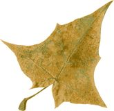 Realistic vector leaf of maple Royalty Free Stock Photos