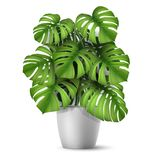 Realistic vector Monstera in a pot. vector illustration