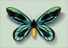 Realistic picture butterfly Ornithoptera alexandrae on green background casting off a shadow royalty free stock images