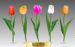 Realistic vector tulips set. Not trace. The blank for your design. Red tulips flowers on transparent background. Stock Photo