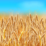 Realistic vector wheat field. Realistic vector summer wheat field under blue sky Stock Image