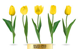 Realistic vector yellow tulips set. Vector Royalty Free Stock Photos