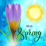 Realistic violet crocus on a sunlight background Royalty Free Stock Images